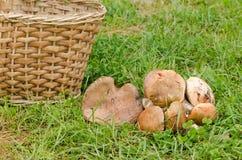 Red cap scaber stalk leccinum aurantiacum mushroom Stock Image