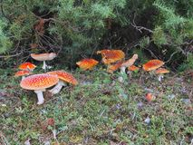 Red Cap Toadstool Colony Stock Photography