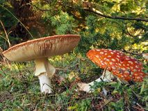 Red Cap Toadstools Stock Photos