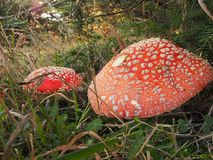 Red Cap Toadstools Stock Image