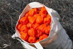 Red cape gooseberry. Background orange background Stock Photos