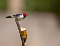 The Red-capped Cardinal Royalty Free Stock Photos