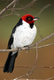 Red-Capped Cardinal. Perching on a branch against a beautiful blurred background Royalty Free Stock Photography
