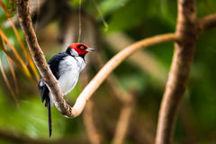 Red-capped cardinal Royalty Free Stock Photography