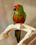 Red Capped Conure Parrot Royalty Free Stock Images