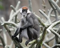 Red-capped mangabey Stock Photography