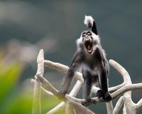 Red-capped mangabey Stock Photo