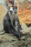 Red-capped mangabey. The red-capped mangabey sitting on the rock royalty free stock photo