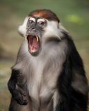 Red-capped Mangabey Stock Photos