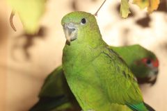Red-capped parrot. The female of red-capped parrot Stock Photos