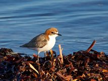 Red Capped Plover Royalty Free Stock Photos