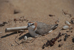 Red capped plover. Sitting on its nest in the sand Stock Image