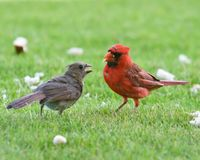 Red Cardinal. A red cardinal standing on grass feeding another bird royalty free stock photography