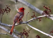 Red cardinal. Sitting on a tree brunch (christmas post card Royalty Free Stock Image
