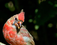 Red Cardinal Royalty Free Stock Photos
