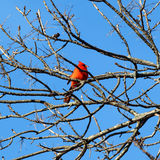 Red Cardinal. Perched in a tree Stock Image