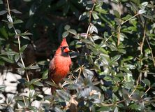 Red cardinal Stock Photo