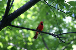 Red cardinal. A red cardinal sings on a tree branch in Central Park, New York royalty free stock photography