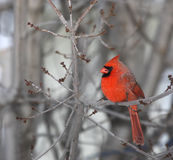 Red Cardinal. Northern red Cardinal male in winter, perched on a tree photographed in Quebec, Canada. Its red color stands out on a grey background stock image