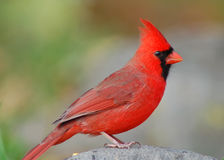 Red Cardinal. Photograph of a brilliantly colored male Cardinal perched on a rock Stock Photography