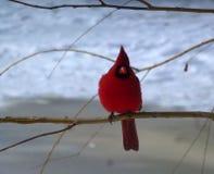 Cardinal Bird. Red cardinal bird on the branch Royalty Free Stock Images