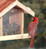 Red Cardinal at bird feeder. This is a Northern Red Cardinal eating sunflowers seeds at a bird feeder stock image