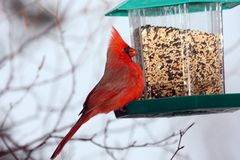 Red Cardinal at bird feeder. A happy and expressive Northern Red Cardinal at bird feeder royalty free stock photo