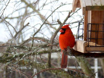 Red Cardinal Bird at Feeder. Male Northern Cardinal, Red Cardinal Bird at Feeder, perched in a tree Stock Image