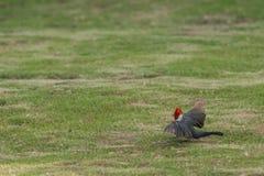 Red Cardinal bird from hawaii Royalty Free Stock Photo