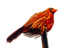 Isolated male northern cardinal bird with hanging wings sitting on a branch in front of a white background Stock Photos