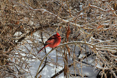 Red Cardinal Bird Stock Image