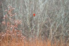 Red Cardinal Bird in Natural State Park in Winter royalty free stock images