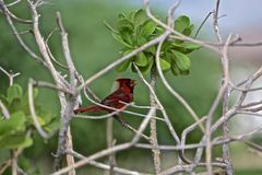 Red Cardinal bird. Red Northern Cardinal bird in tree with seed in its mouth royalty free stock photography