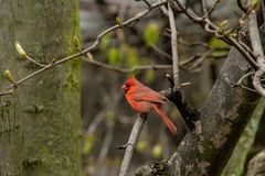 Red Cardinal bird perched on a branch of a tree in a forest royalty free stock photography