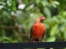 Red Male Cardinal Bird. Red cardinal bird perched on a fence Royalty Free Stock Photos
