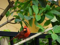 Red Male Cardinal Bird. Red cardinal bird perched on a fence Stock Images