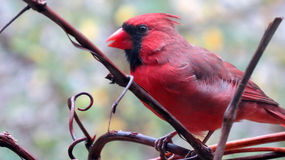Red cardinal bird in profile. Portrait of a red cardinal bird on a grapevine in autumn Stock Photos