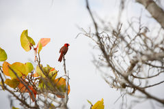 Red Cardinal. Bird siting on a branch. known as the redbird or common cardinal. photography taken at Everglades National Park Stock Images