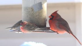 4k Red American Cardinal eating food from bird feeder