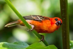 Red cardinal bird in a swiss zoo Stock Photo