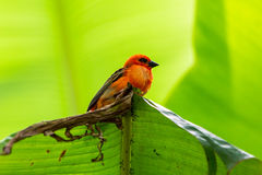 Red cardinal bird in a swiss zoo Stock Photography