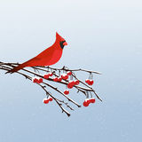 Red Cardinal Bird. Winter scene with a red cardinal bird sitting on a rowan berry tree branch Royalty Free Illustration
