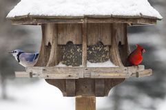 Red Cardinal and Blue Jay Royalty Free Stock Image