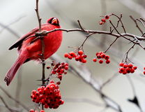 Red Cardinal on Branch with Berries. A Red Cardinal sitting perched on a branch with red berries hanging against a gray background Stock Images