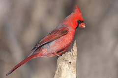 Red cardinal (Cardinalis cardinalis) Royalty Free Stock Photography