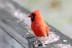 Red Cardinal. Close up shot of Cardinal royalty free stock photos