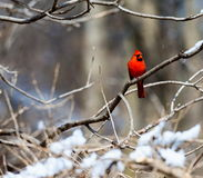 Red Cardinal deep in a forest in the Quebec winter. Royalty Free Stock Images
