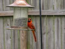 Red Cardinal eating dinner at a backyard feeder royalty free stock images