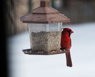 Red Cardinal at Feeder Royalty Free Stock Image