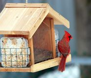Red Cardinal at a feeder. This is a Northern Red Cardinal at a feeder in a back yard royalty free stock photos
